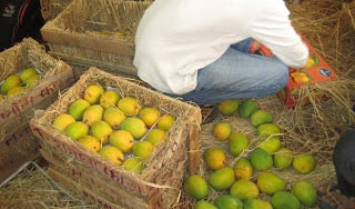 Mangoes and Other Fruit being prepared for shipping. We ship within Africa, but are also scaling up production for overseas export.